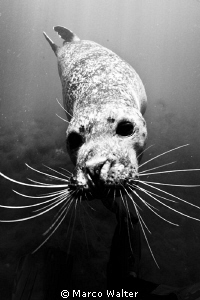 Harbour seal in Black &amp; White by Marco Walter 